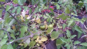 Les dernières tomates... encore vertes.
