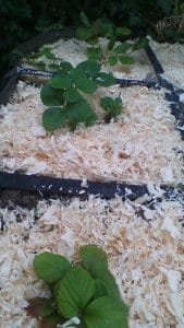 Les nouveaux fraisiers viennent d'être paillés grâce à de la sciure récupérée des essais toilettes sèches de Norroy !